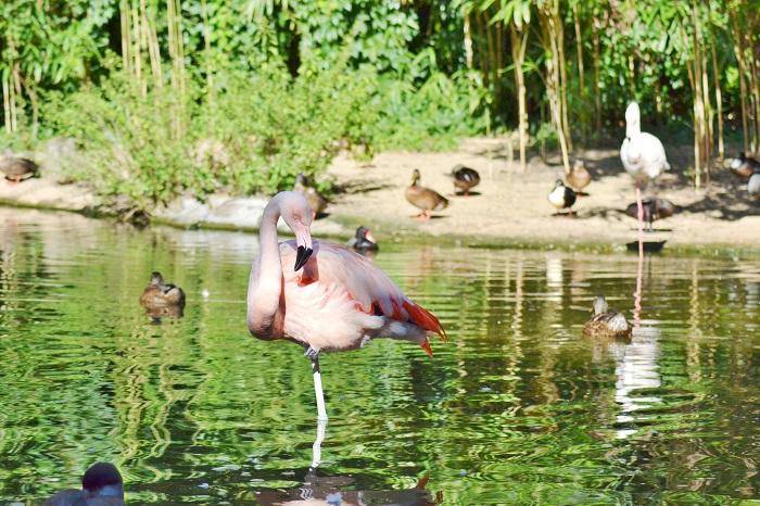 Erlebnis Zoo Hannover, Flamingo - Carotellstheworld