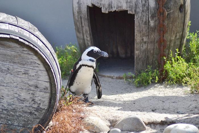 Erlebnis Zoo Hannover, Pinguin - Carotellstheworld