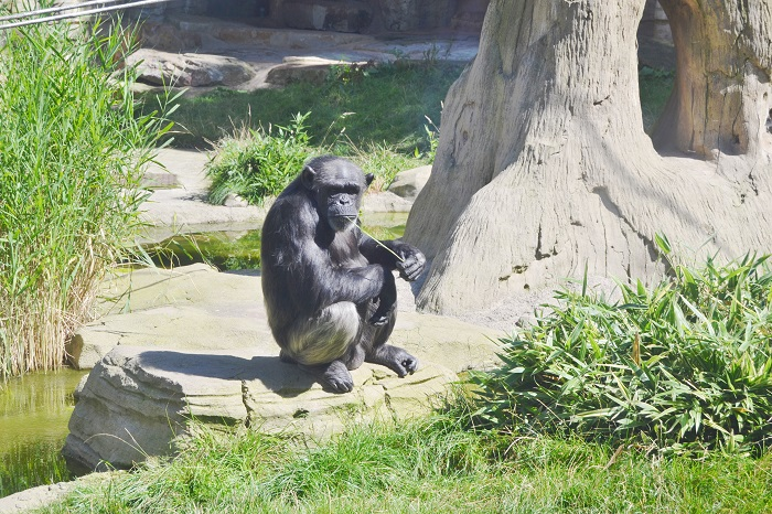 Erlebnis Zoo Hannover, Schimpanse - Carotellstheworld