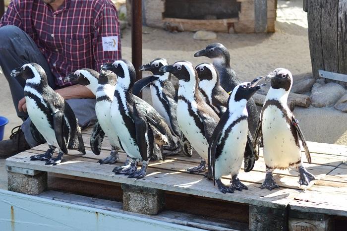 Erlebnis Zoo Hannover, Pinguine - Carotellstheworld
