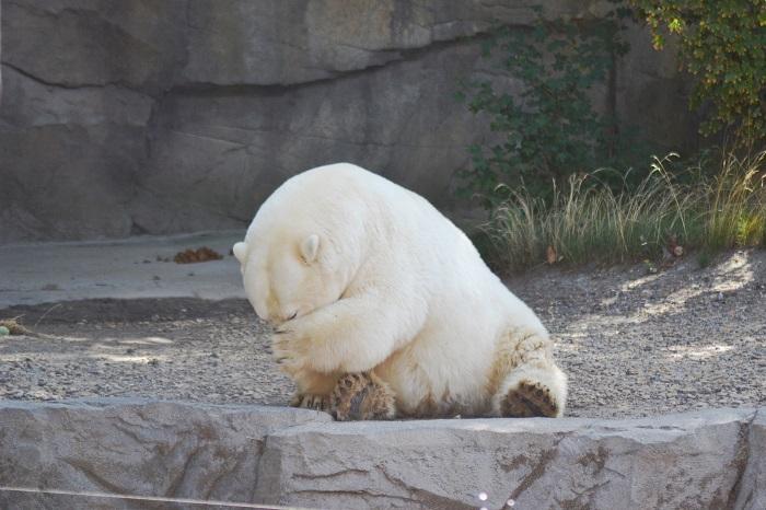 Erlebnis Zoo Hannover, Eisbär - Carotellstheworld