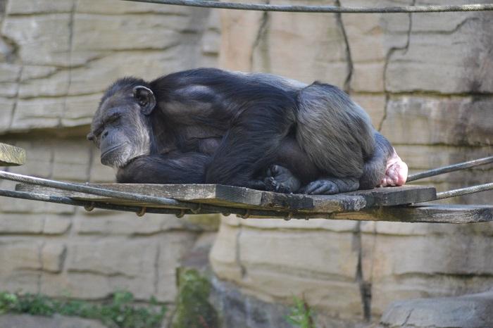 Erlebnis Zoo Hannover, Schimpanse 2 - Carotellstheworld