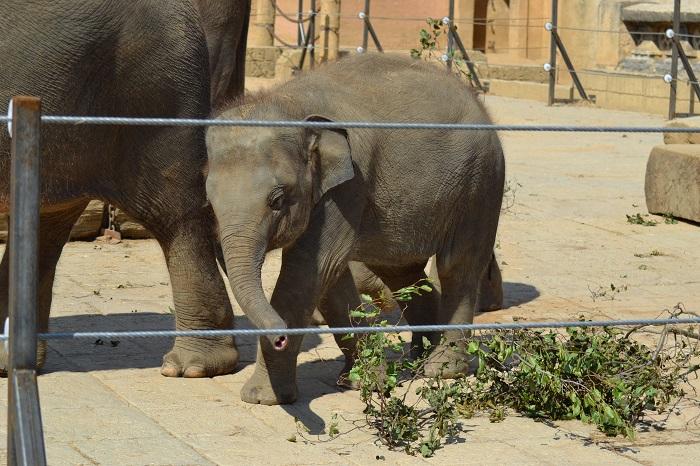 Erlebnis Zoo Hannover, Babyelefant - Carotellstheworld
