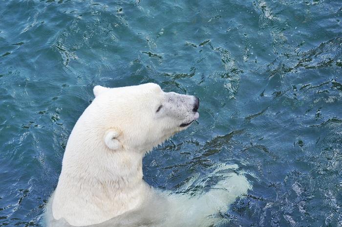 Erlebnis Zoo Hannover, Eisbär 2 - Carotellstheworld