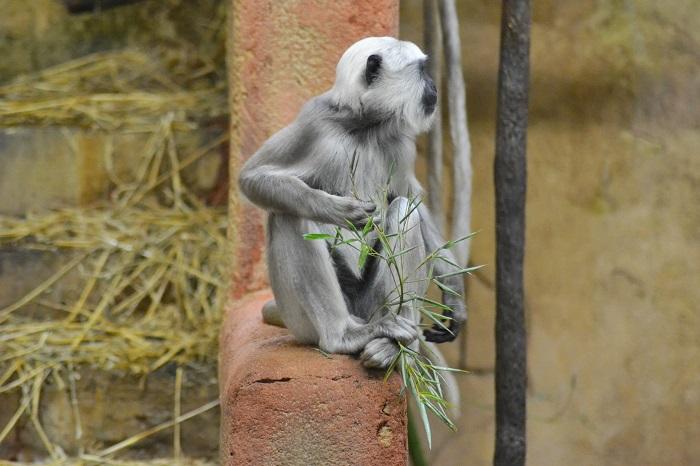 Erlebnis Zoo Hannover, Languren - Carotellstheworld