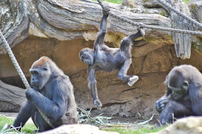 Erlebnis Zoo Hannover, Gorilla 2 - Carotellstheworld