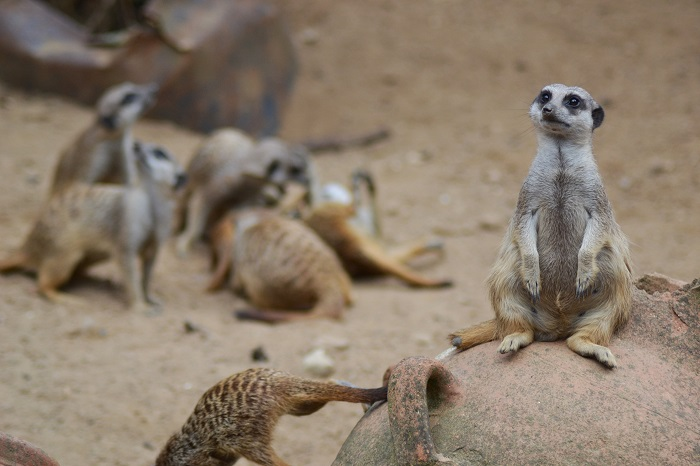 Erlebnis Zoo Hannover, Erdmännchen - Carotellstheworld